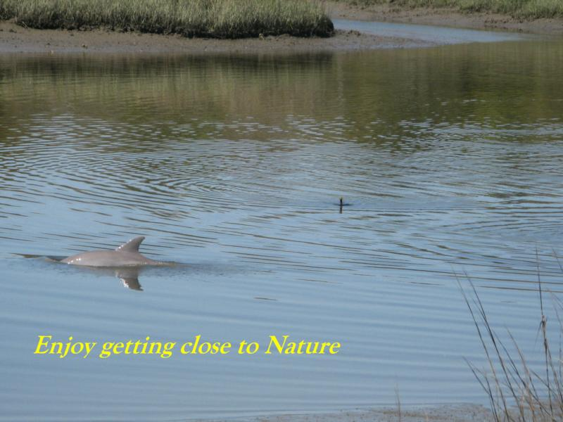 Dolphin in Bailey Creek