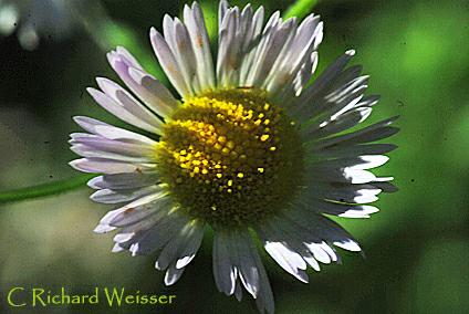 Fleabane close-up