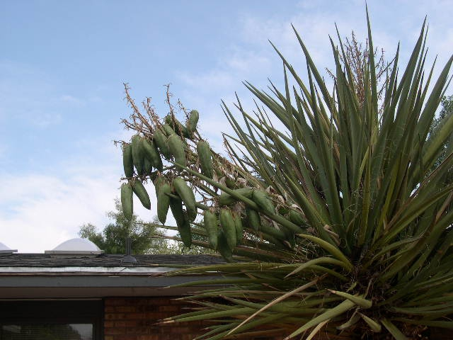 Yucca plant with seed pods.