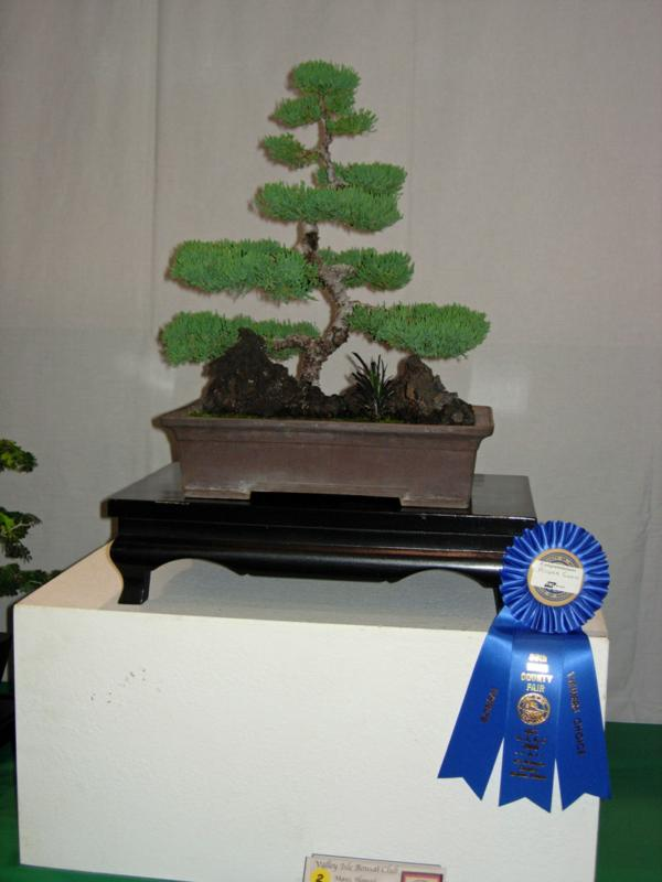 First Place Bonsai at Maui County Fair