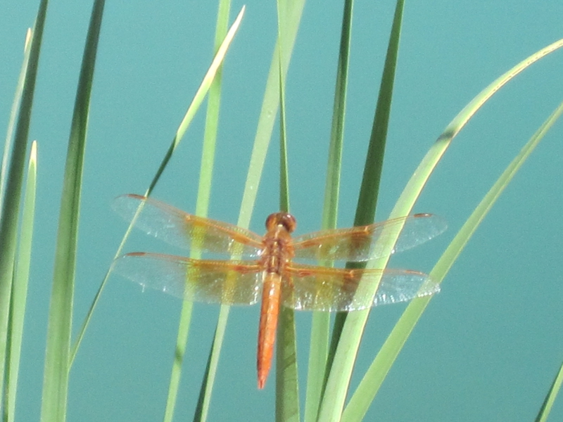 dragon fly at Razor Ridge