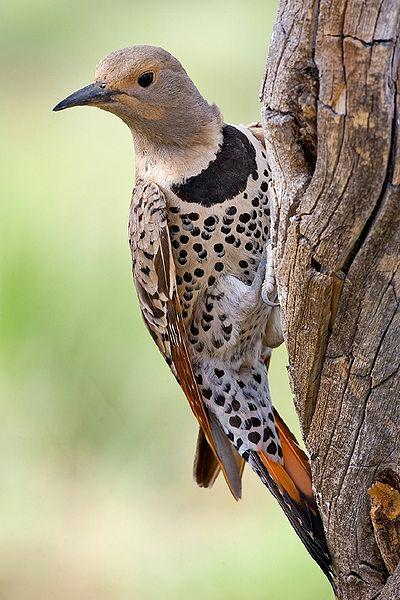 Woodpeckers In Southern Oregon Have Evolved