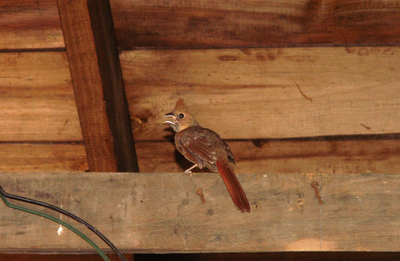 Female Cardinal In Garage