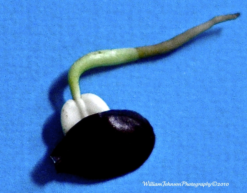 Stephanotis Seedling