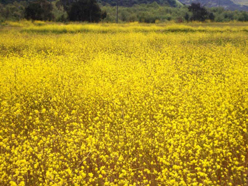 Yellow flower fields forever in carlsbad ca yellow flower fields in carlsbad ca mightylinksfo Images