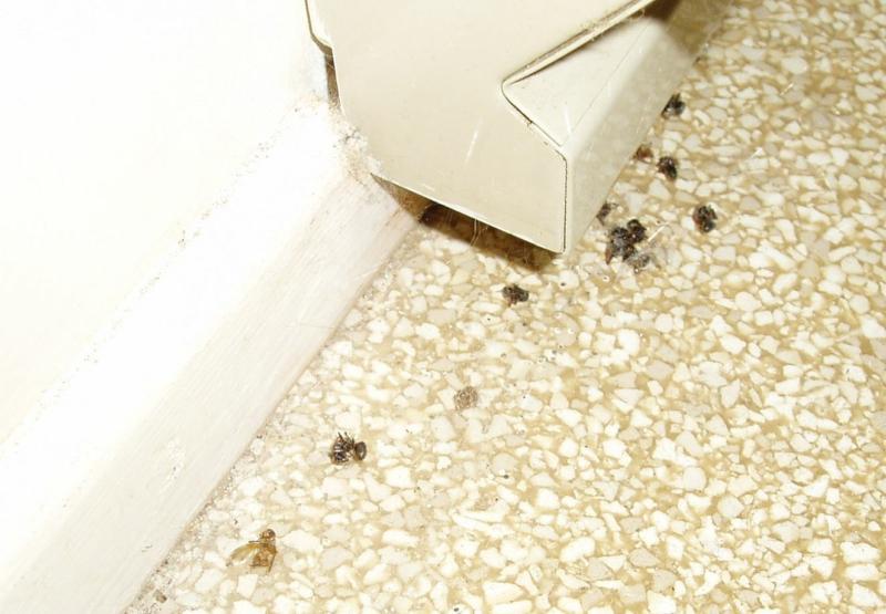 Bellingham Home Inspection (King of the House): Carpenter Ant ...