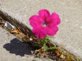 Flower growing in sidewalk