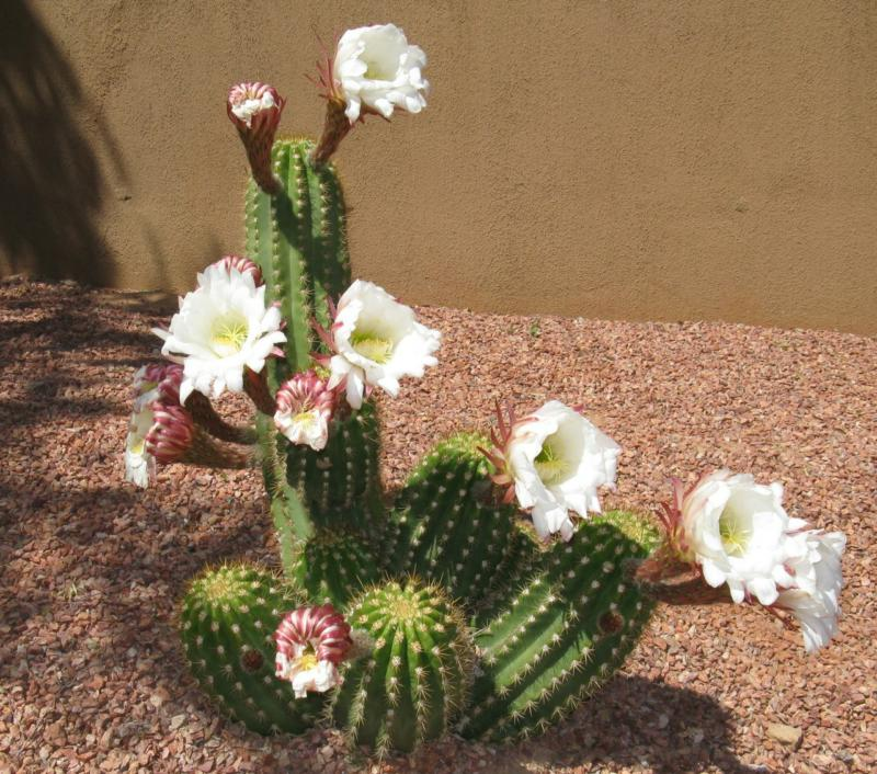 Cactus Blooms In Mesquite Nv Pictures Of Spring Flowers In The Desert