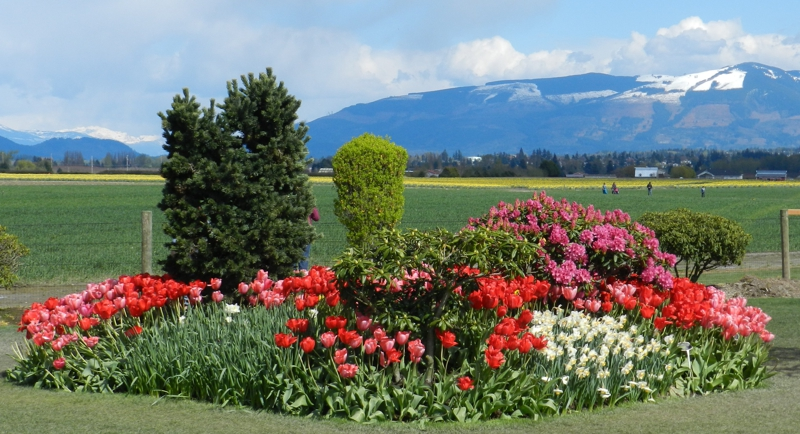 Tulips & Snow Covered Hills