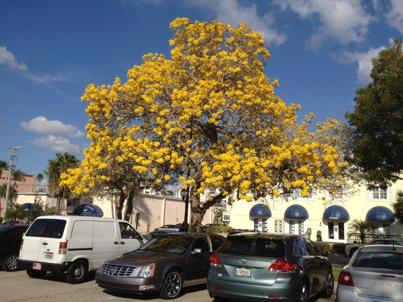 Tree with yellow flowers in florida choice image flower decoration spring colors in venice fl mightylinksfo mightylinksfo Images
