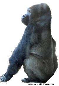 Denver Zoo Gorilla
