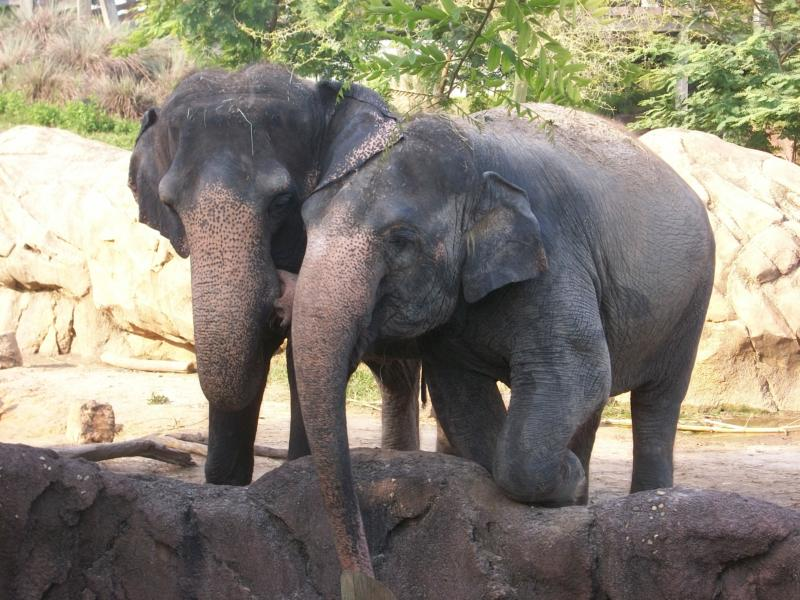 Elephant Love, or Just Best Friends?