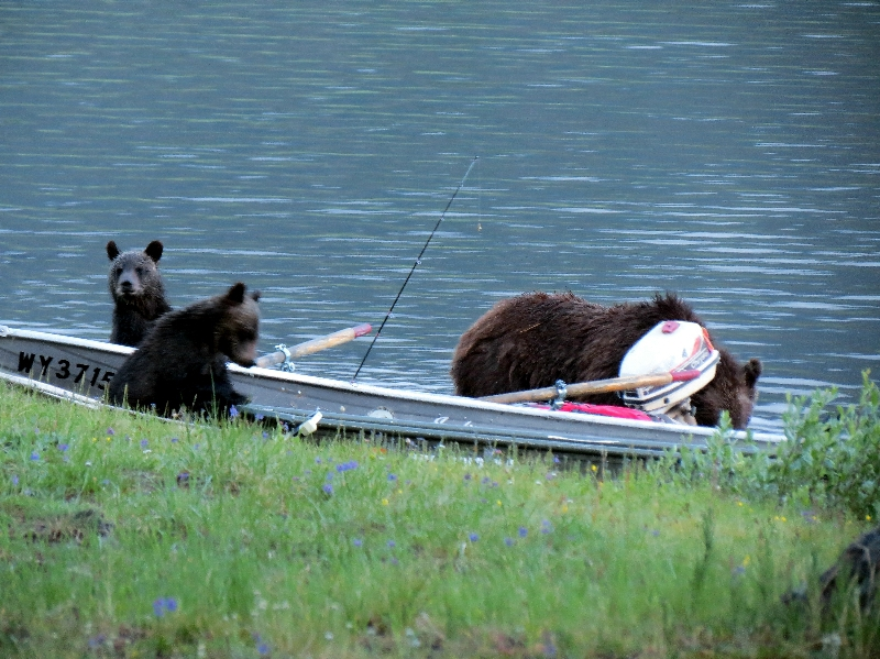 Grizzly Bears in boat