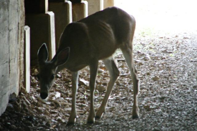 Deer on Hiawatha Trail
