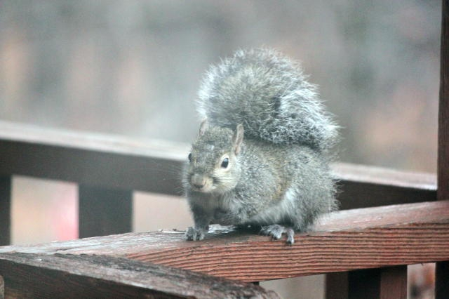 Debbie's squirrel