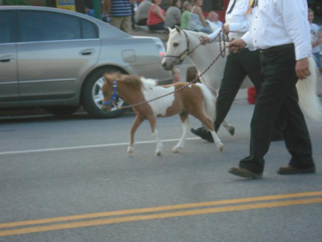 Miniature Horses galore in the Festival of the Horse Grand Parade