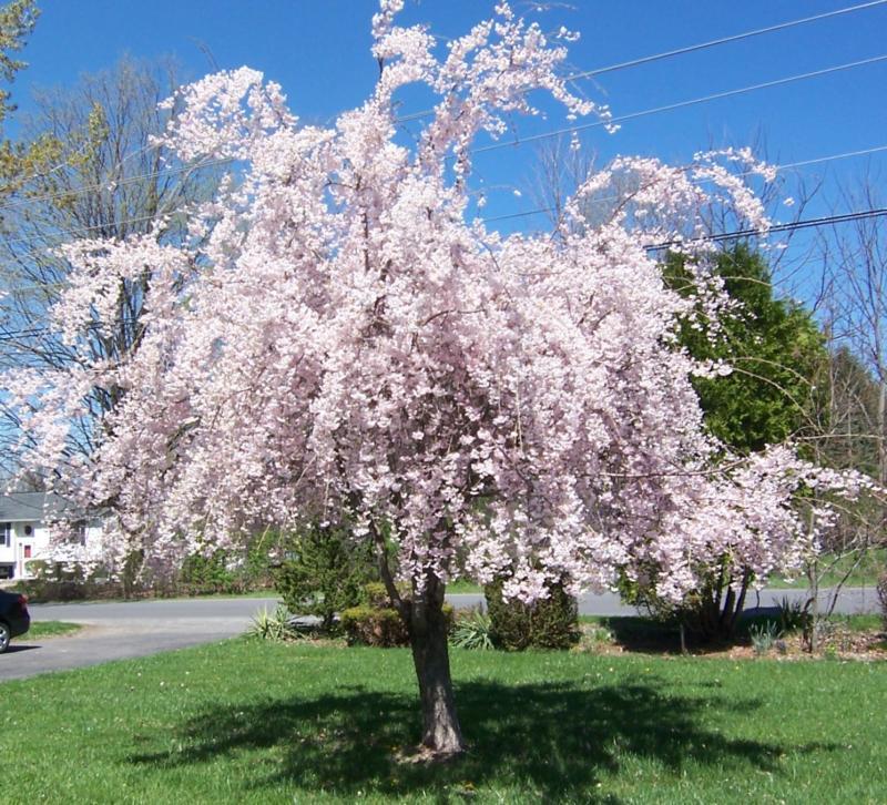 Wordless Wednesday-Flowering Trees