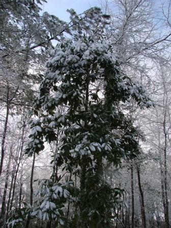 snow covered magnolia tree