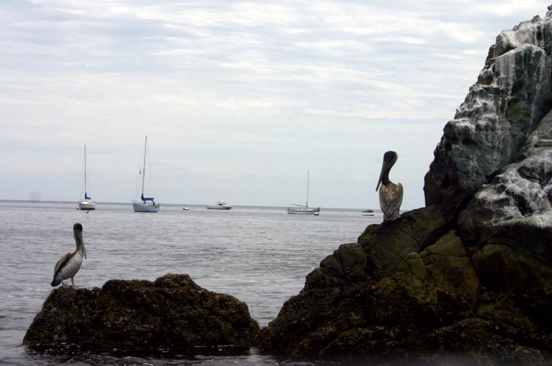Catalina Island Pelicans