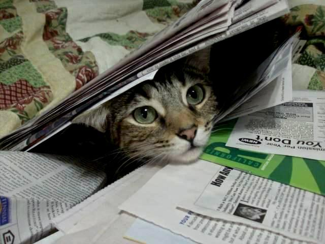 Zoey the Cool Cat under the newspapers