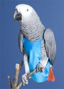 Попугай в подгузнике