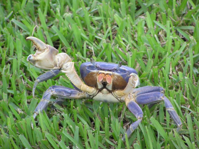 Blue Land Crab Land Crabs Florida
