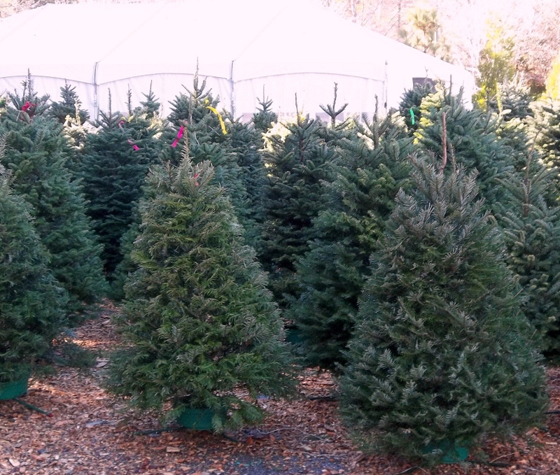 Best Christmas Tree Farms In Nc: LIVE CHRISTMAS TREE For Your LAKE ARROWHEAD Home