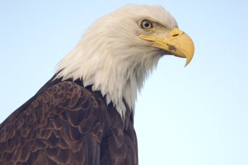 Bald eagle, Curtis Brown, Curtis C Home Inspections