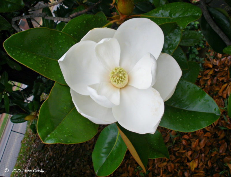Simply Southern Magnolia copyright 2012 Mona Gersky