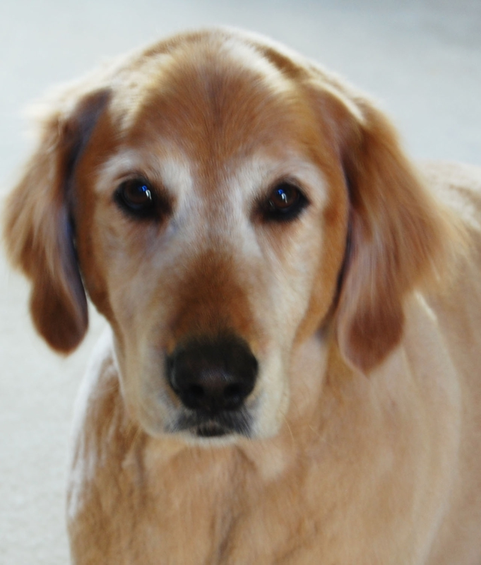 Henry Our Beautiful And Funny Golden Retriever A Portrait