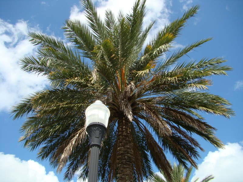 Palm Tree in Jacksonville Florida
