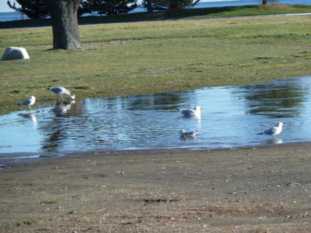 Shoreline birds at Compo Beach at Westport, CT 06880