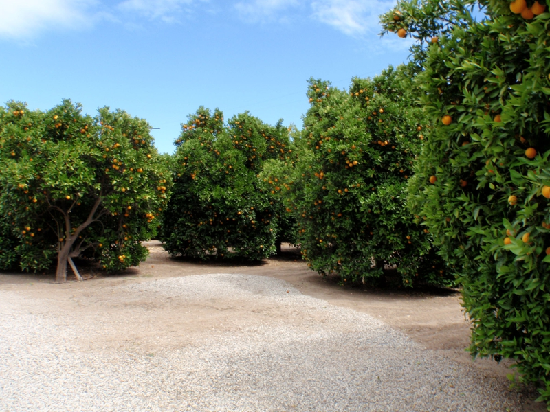 Orange Grove in Tarzana CA by Endre Barath,Jr.