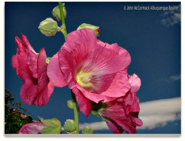 Albuquerque, Hollyhock Plants, John mccormack, albuquerque homes reatly, realtor, flowers, holly hock