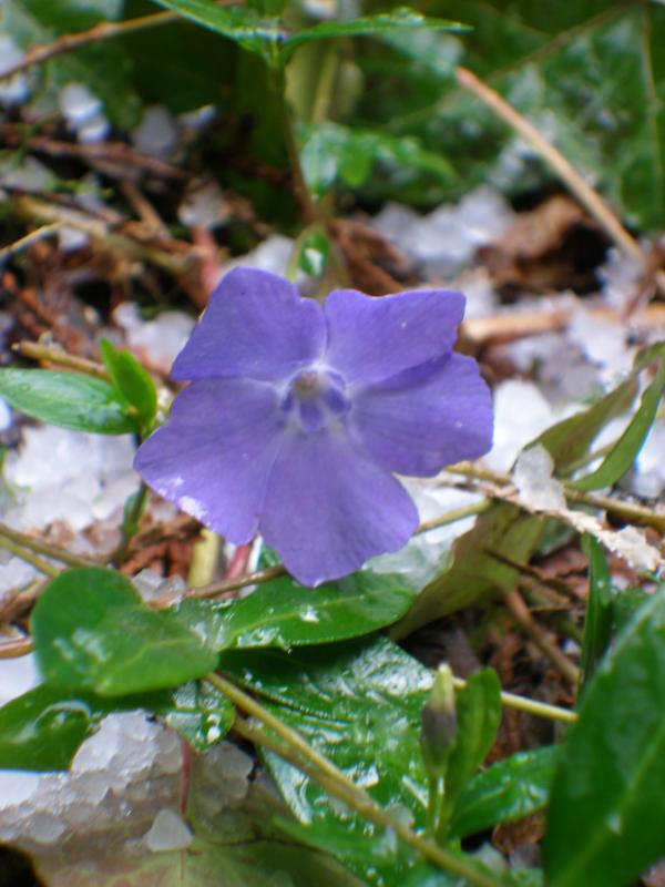 More Periwinkles in the snow