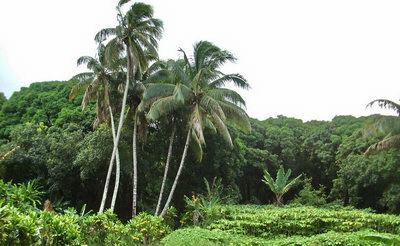 Haiku Maui - coconut palms and taro - just listed
