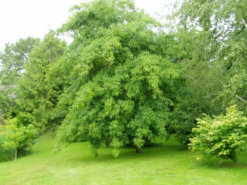 Specimen trees for small gardens flowers gallery for Specimen trees