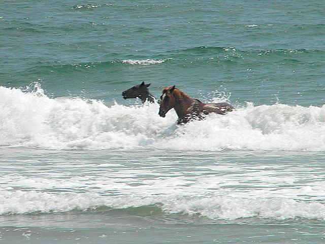 Horses In The Surf Outer Banks Of North Carolina Corolla