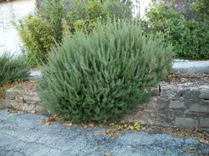 Tulsa's Riverview Alley Herb Garden: Rosemary