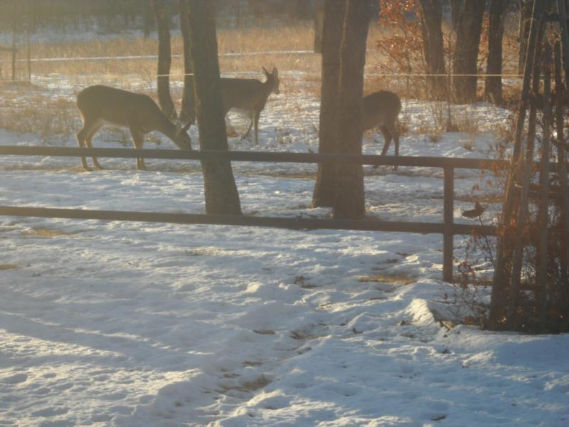 Beautiful deer in Pawhuska Oklahoma