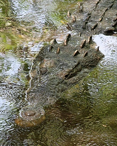 American Crocodile at La Manzanilla, Jalisco State in Mexico Courtesy of Tomascastelazo - Wikimedia Commons