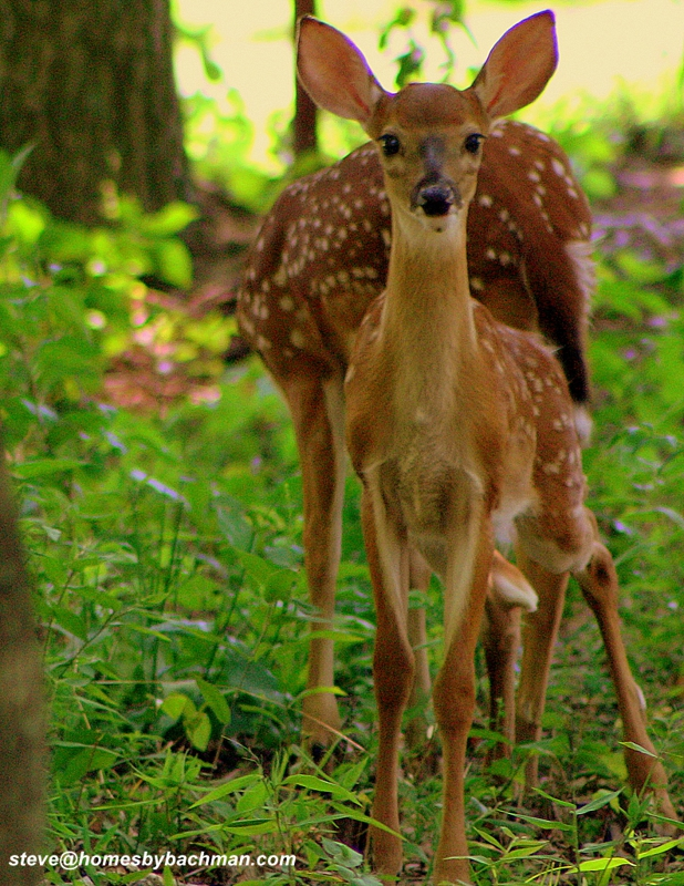 Twin Fawns at Twin Lakes golf course photo Steve Bachman