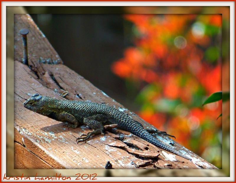 Leaping Lizards………in my Backyard