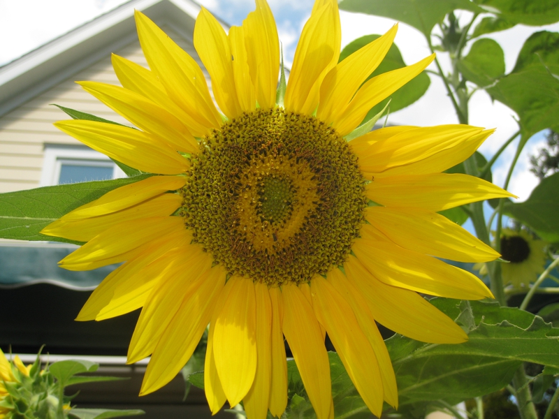 Connecticut Sunflower