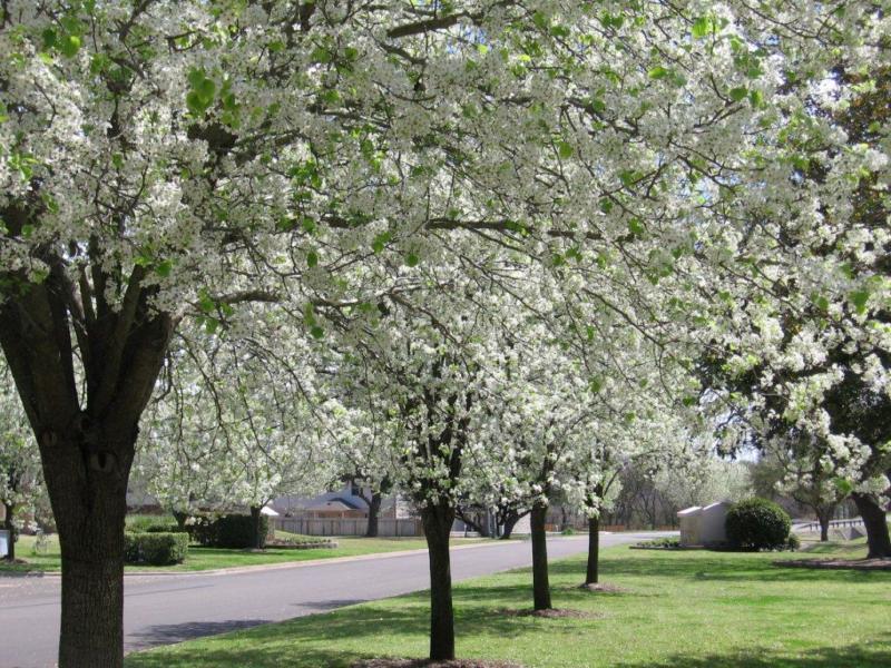bradford pear-berry creek