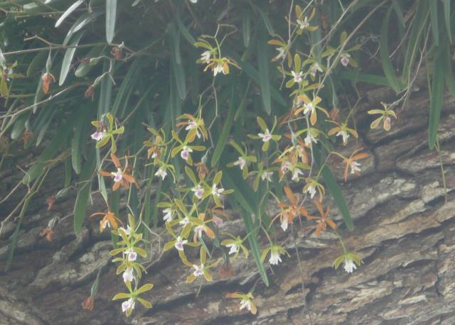 City Of New Port Richey >> Wild Orchids Growing in DownTown New Port Richey