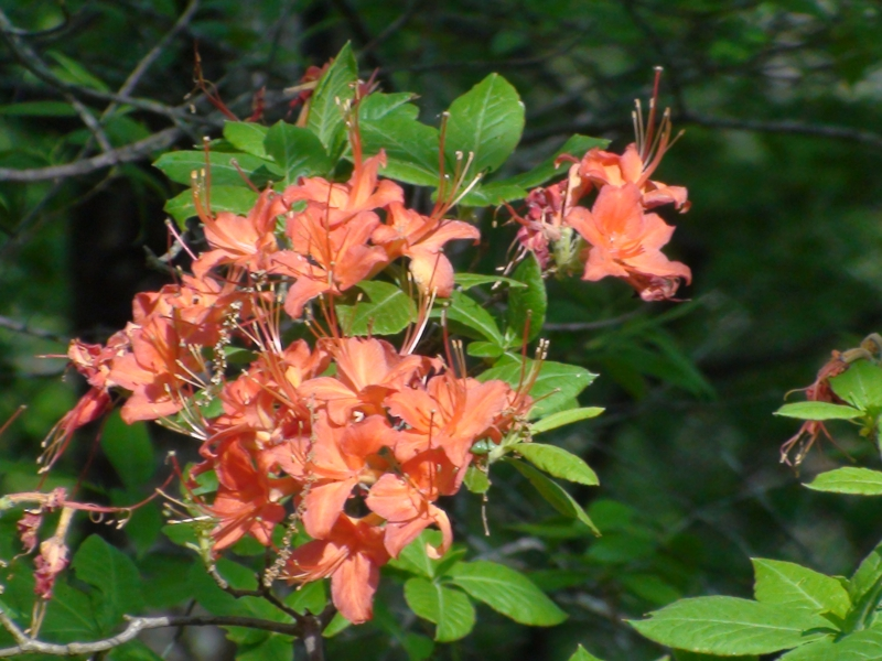 flaming wild azaleas in the murphy, nc mountains