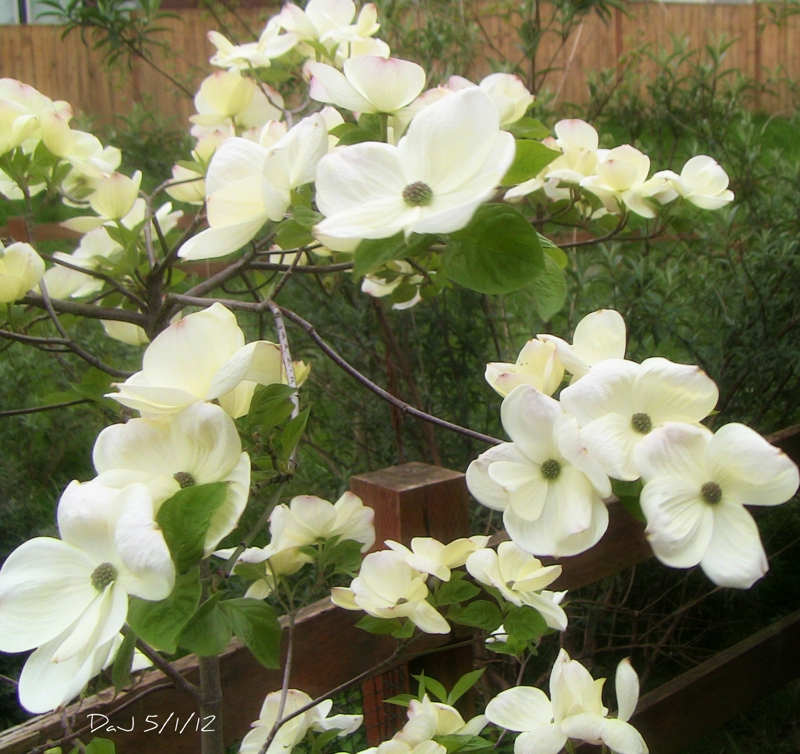 The little Dogwood that could - Happy May Day 2012