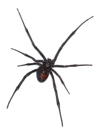 Pictures of black house spiders