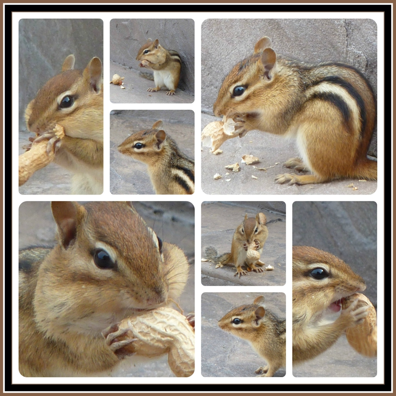 Collage of a Chipmunk